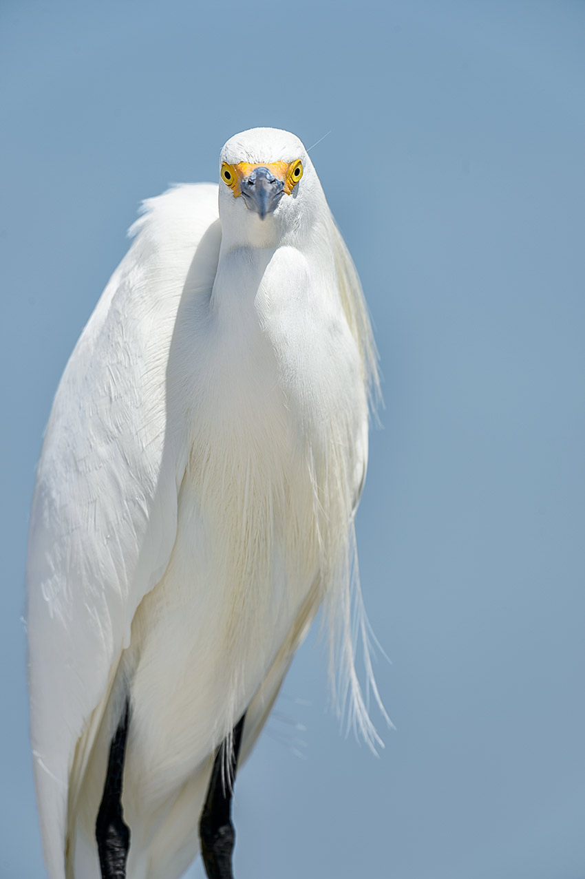 (Egretta thula)Image No: 13-009243  Click HERE to Add to Cart
