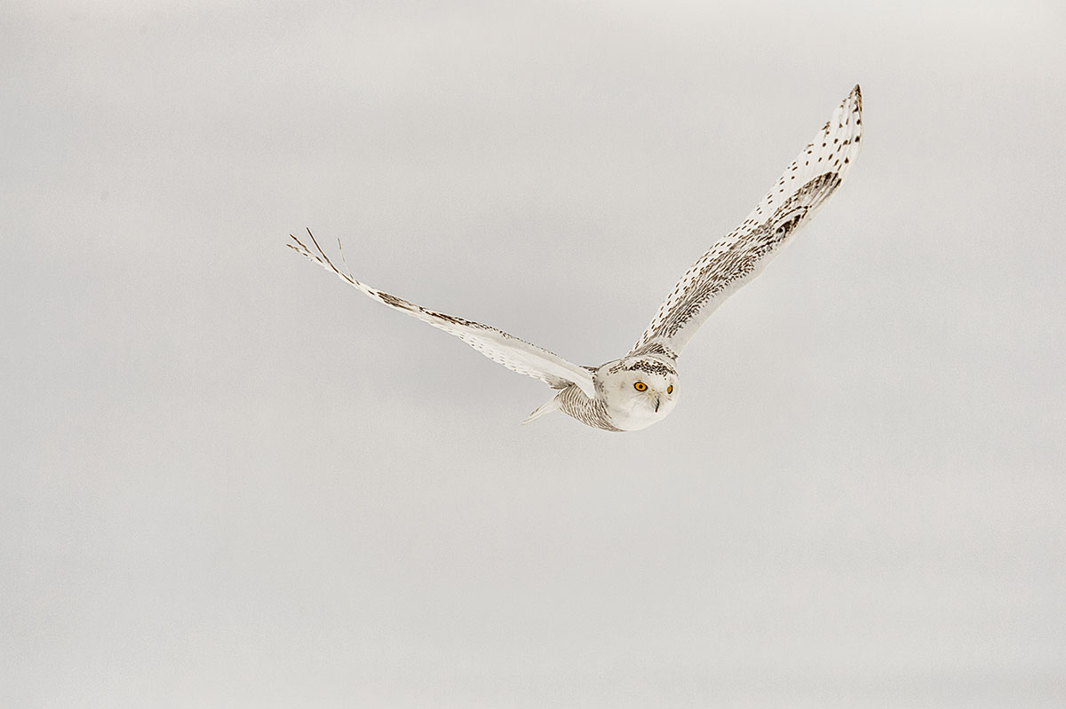 (Bubo scaniacus)Image No: 14-001332  Click HERE to Add to Cart