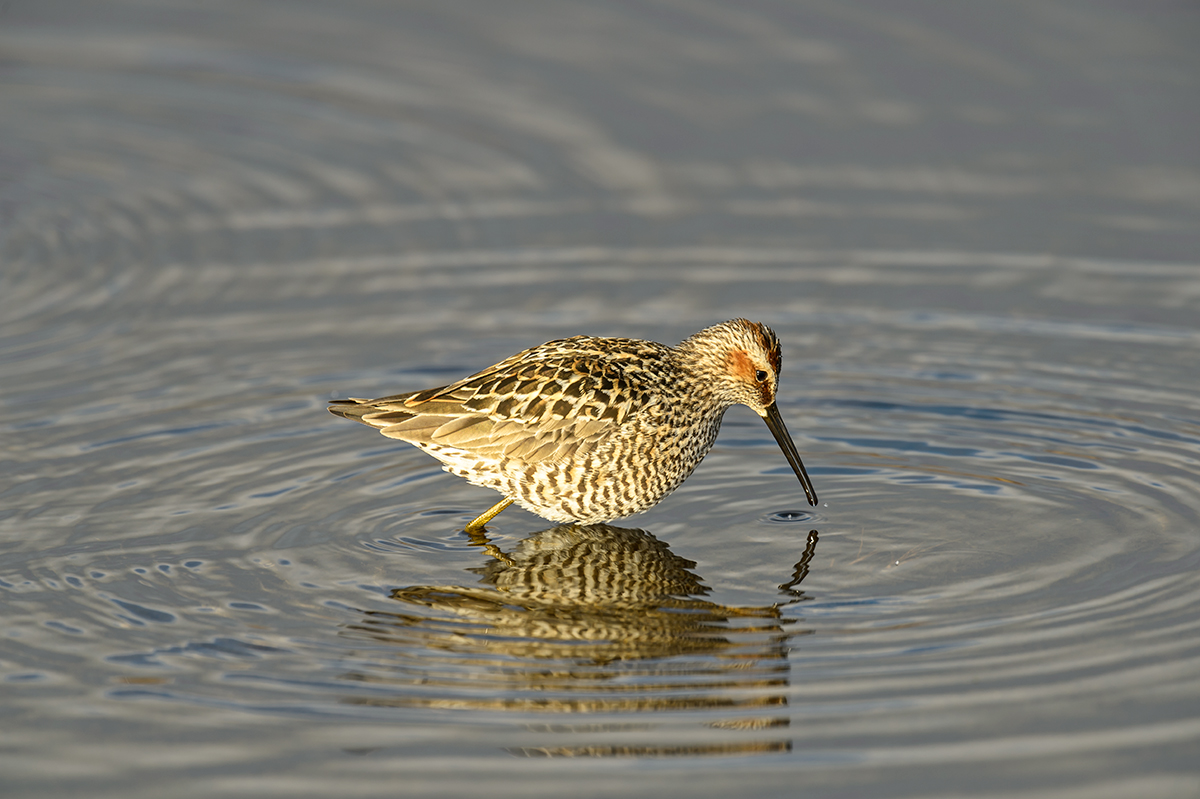 (Calidris himantopus)Image No: 13-018950  Click HERE to Add to Cart