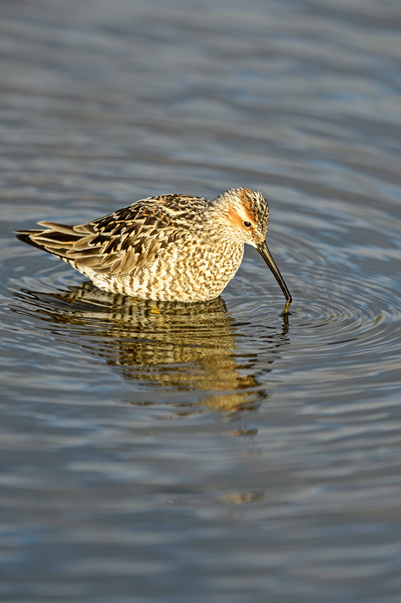 (Calidris himantopus)Image No: 13-019012  Click HERE to Add to Cart