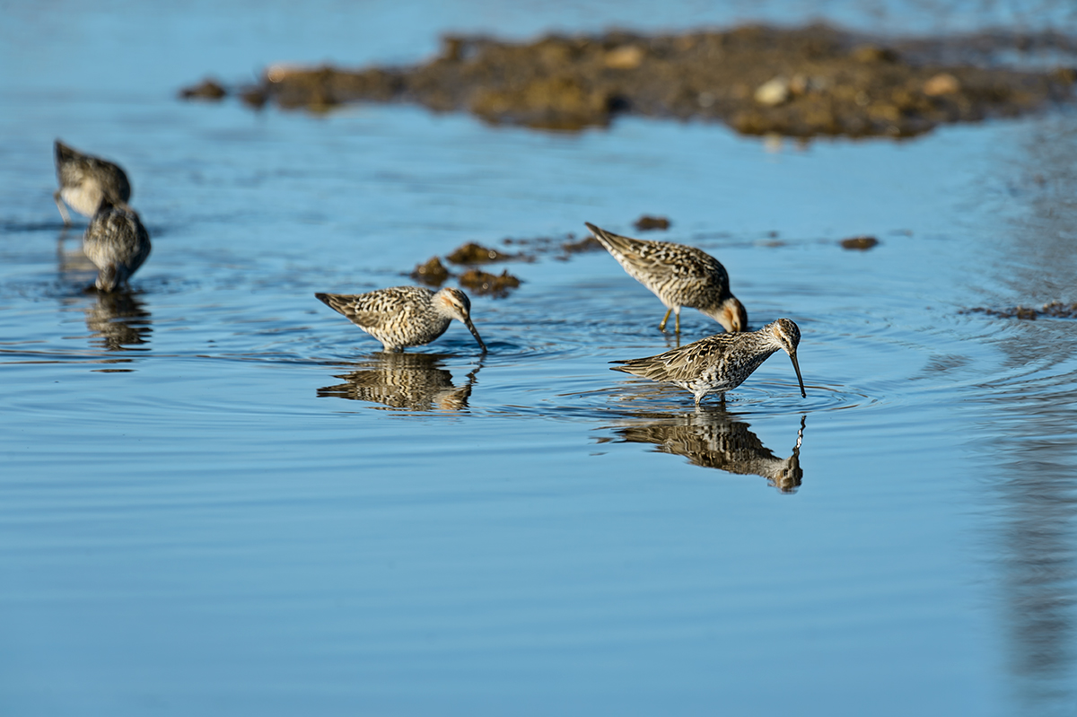 (Calidris himantopus)Image No: 13-020147  Click HERE to Add to Cart