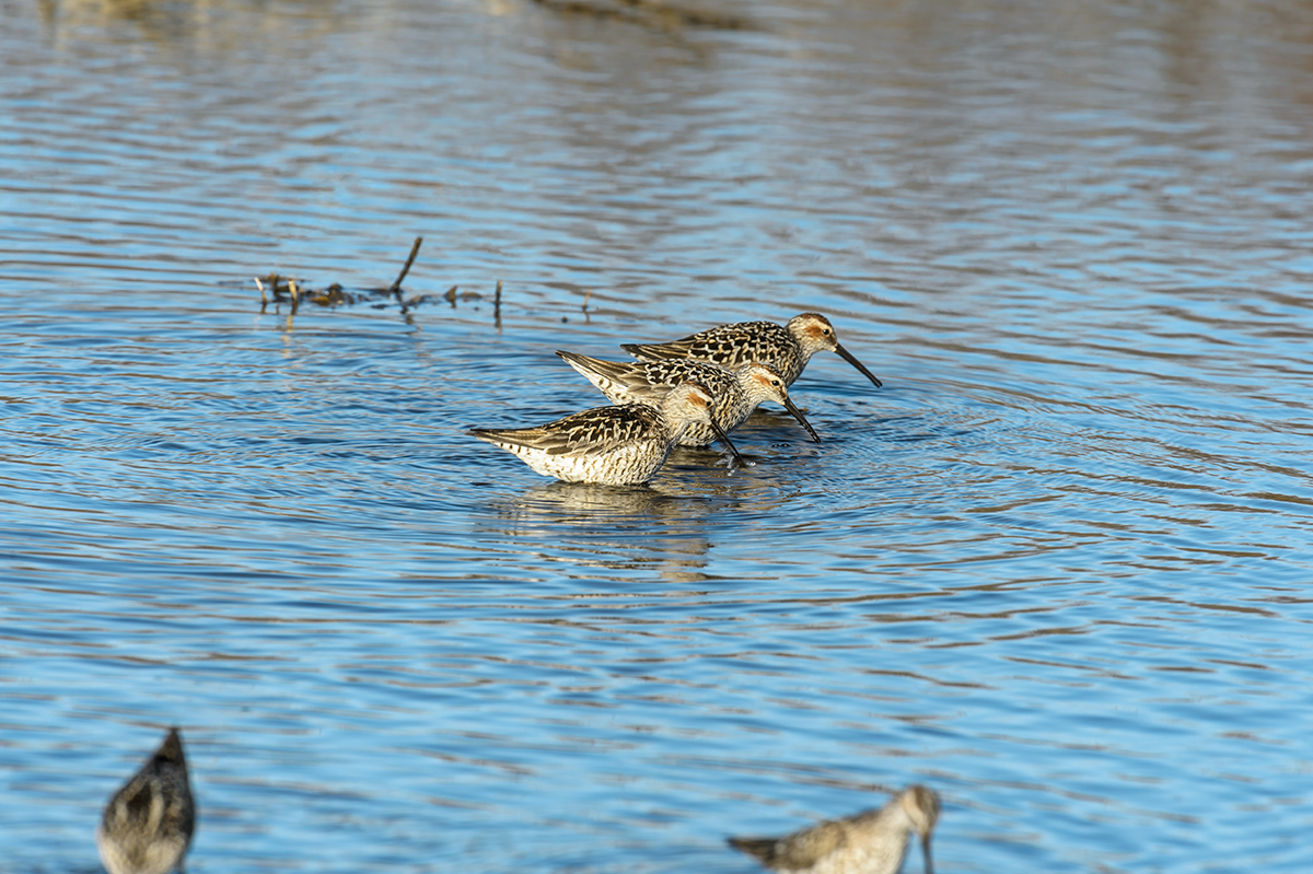 (Calidris himantopus)Image No: 13-020356  Click HERE to Add to Cart