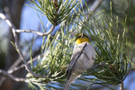 Patagonia, Arizona(Auriparus flaviceps) Image No: 20-001952  Click HERE to Add to Cart