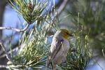 Arizona, USA(Auriparus flaviceps) Image No: 20-001954  Click HERE to Add to Cart