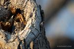 San Pedro Riperian National Conservation Area, AZ(Megascops kinnicottii)Image No.  21-000233Click HERE to Add to Cart