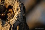 San Pedro Riperian National Conservation Area, AZ(Megascops kinnicottii)Image No.  21-000257Click HERE to Add to Cart