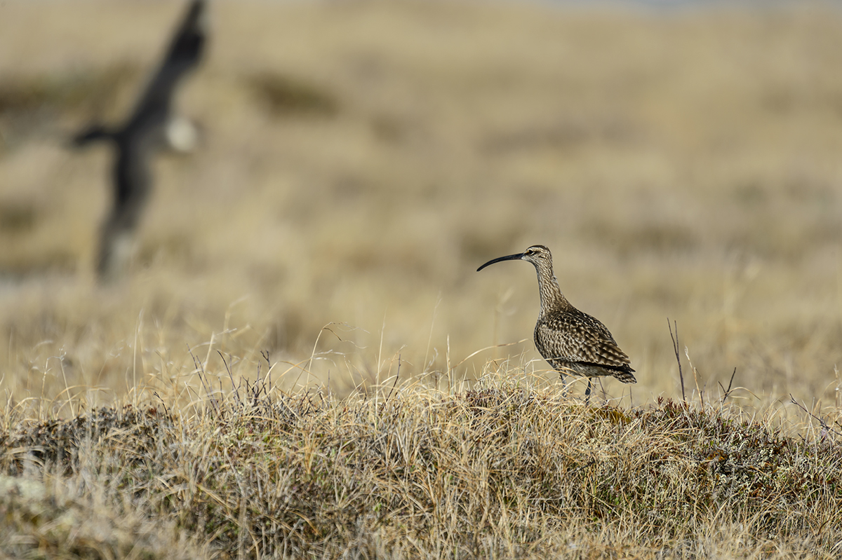 (Numenius phaeopus)Image No: 13-024205 Click HERE to Add to Cart