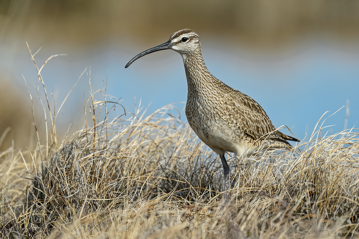 (Numenius phaeopus)Image No: 13-024357 Click HERE to Add to Cart
