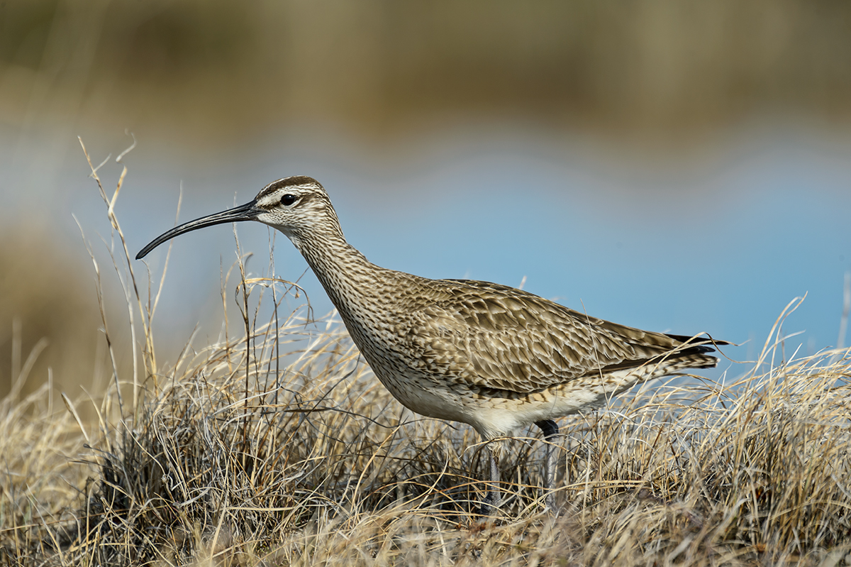 (Numenius phaeopus)Image No: 13-024373 Click HERE to Add to Cart
