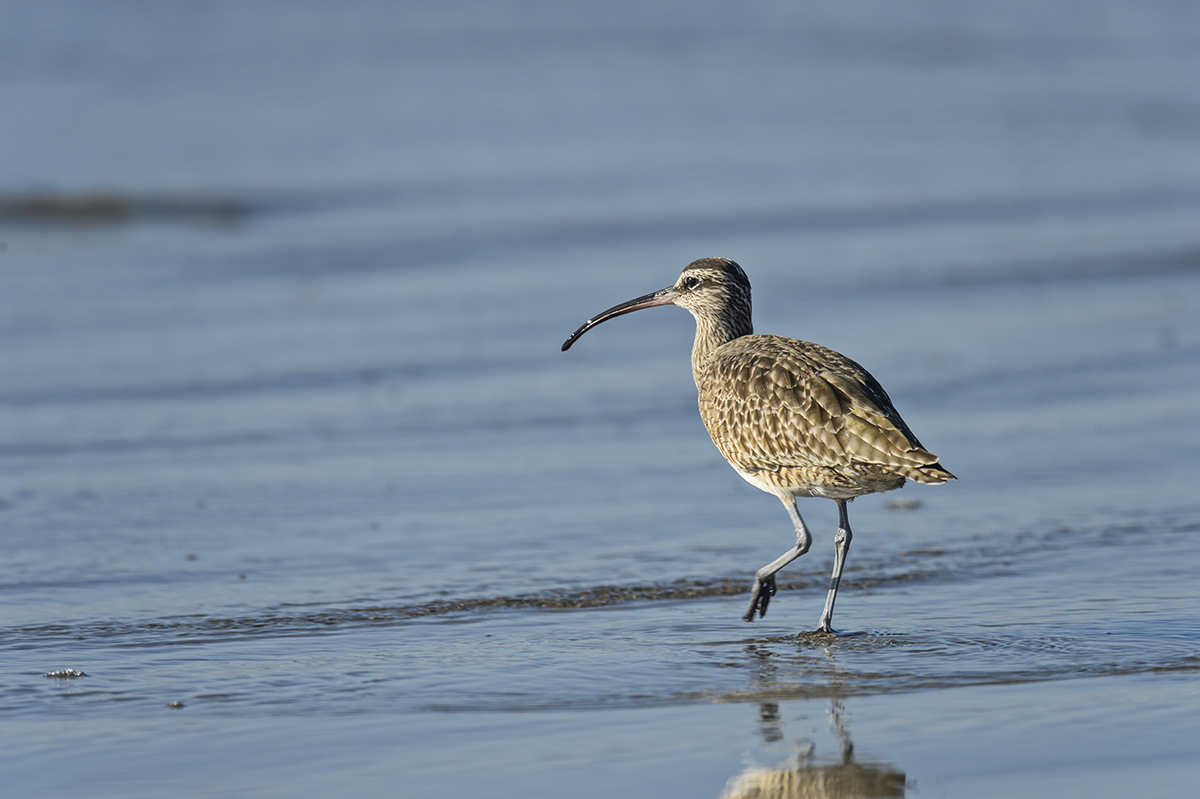 (Numenius phaeopus)Image No: 16-385773  Click HERE to Add to Cart