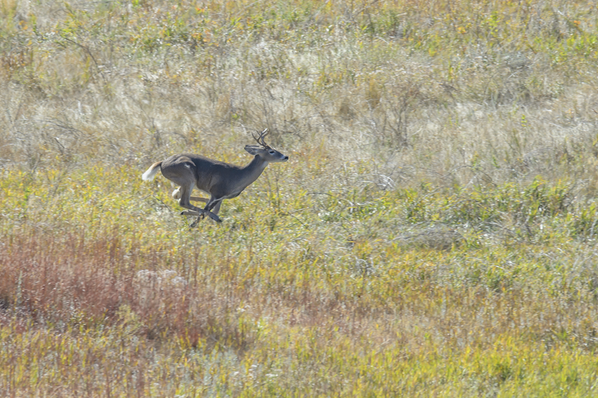 (Odocoileus virginianus)Photographs from the Buffalo round up of 1,300 BuffaloImage No: 15-043115   Click HERE to Add to Cart