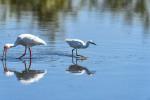 Florida(Eudocimus albus, Egretta thula)Image No: 13-008638  Click HERE to Add to Cart