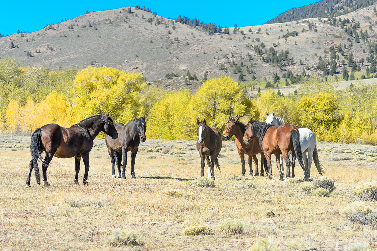 (Equus feras)Cody, WyomingImage No: 17-018651  Click HERE to Add to Cart