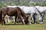Mesa, Arizona(Equus ferus)Image No: 20-002790Click HERE to ADD to Cart