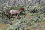 Mesa, Arizona(Equus ferus)Image No: 20-002870Click HERE to ADD to Cart
