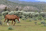 Mesa, Arizona(Equus ferus)Image No: 20-002910Click HERE to ADD to Cart