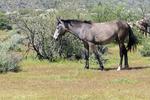 Mesa, Arizona(Equus ferus)Image No: 20-002921Click HERE to ADD to Cart