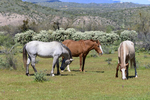 Mesa, Arizona(Equus ferus)Image No: 20-002934Click HERE to ADD to Cart