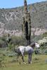 Mesa, Arizona(Equus ferus)Image No: 20-003067Click HERE to Add to Cart