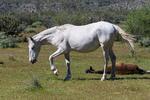 Mesa, Arizona(Equus ferus)Image No: 20-003075Click HERE to ADD to Cart