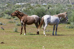 Mesa, Arizona(Equus ferus)Image No: 20-003092Click HERE to ADD to Cart