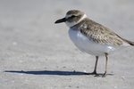 St. Petersburg, Florida(Charadrius wilsonia) Image No: 20-000746  Click HERE to Add to Cart