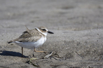 St. Petersburg, Florida(Charadrius wilsonia) Image No: 20-000749  Click HERE to Add to Cart
