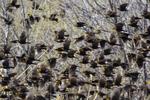 McNeal, Arizona(Xanthocephalus xanthocephalus) Image No: 20-001459 Click HERE to Add to Cart