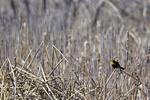 McNeal, Arizona(Xanthocephalus xanthocephalus) Image No: 20-001468 Click HERE to Add to Cart
