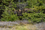Anchorage, Alaska, USA(Alces alces) Image No: 15-044560  Click HERE to Add to Cart