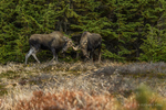 Anchorage, Alaska, USA(Alces alces) Image No: 15-044641  Click HERE to Add to Cart