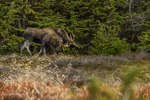 Anchorage, Alaska, USA(Alces alces) Image No: 15-044655  Click HERE to Add to Cart