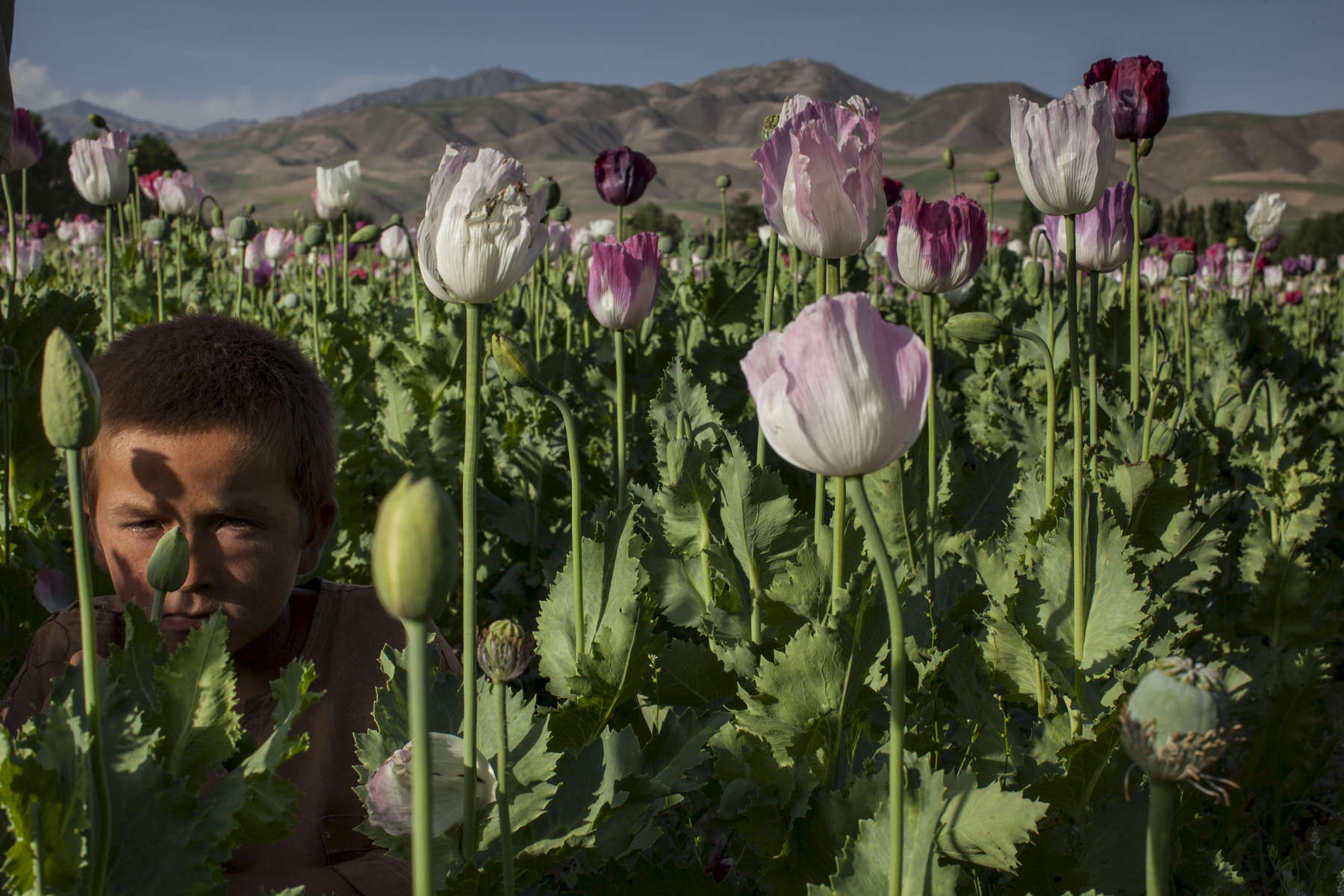 A boy hides in a field of poppy flowers where he is helping his father who is a farmer in Badakhshan province. Most farmers receive 50% of the harvest profits from the opium collected. Afghanistan is still the greatest illicit opium producer in the entire world, ahead of Burma (Myanmar).  Currently 1kg of opium equals about $200 US. Opium production in Afghanistan has been on the rise since U.S. occupation started in 2001. May 24, 2011