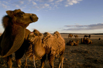 KHANBOGD-SOUTH GOBI DESERT, MONGOLIA - OCTOBER 9:  Camels graze on the open desert near the Oyu Tolgoi mine October 9, 2012 located in the south Gobi desert, Khanbogd region, Mongolia. The Oyu Tolgoi copper and gold mine (translated means Turquiose Hill) is a combined open pit and underground mining project.  While the construction continues open pit mining is currently underway with full production expected later in 2012. When the mine starts full operation the country will be set to become one of the world's top copper and gold producers with estimates of 450,000 tons of copper and 330,000 ounces of gold. Financing for the project has come in part from the Rio Tinto Group and an investment agreement between Ivanhoe Mines and the government of Mongolia. Mongolia's largest foreign investment project to date is projected to increase the country's GDP by 35%.  Many estimate Mongolia to be the world's fastest growing economy with an estimated $1.3 trillion in untapped mineral resources. (Photo by Paula Bronstein/Getty Images)