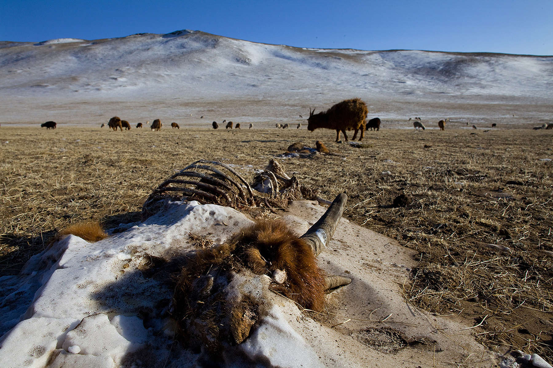 BAYANTSOGT, MONGOLIA-MARCH 14 : Frozen animal remains along the Mongolian landscape March 14, 2010  in Bayantsogt, in Tuv province in Mongolia.  Mongolia is still experiencing one of the worst Winters in 30 years with 68 % of the provinces effected. Presently the government has declared an emergency requiring foreign aid to alleviate the impact of the {quote} Zud{quote} ( Mongolian term for a multiple natural disaster) caused by bitter cold and thick snow. Recently, the UN allocated $3.7 million for humanitarian assistance to Mongolia from its Central Emergency Response Fund (CERF). The United Nations Development Program (UNDP) is developing a cash-for-work program in Mongolia under which herders will earn income to clear and bury the carcasses of the over 2 million livestock that have perished nationwide. Currently 1.5 m goats, 921,000 sheep, 169,000 cows and yaks, 89,000 horses and 1,500 camels had died according to the various UN agency reports. (Photo by Paula Bronstein /Getty Images)