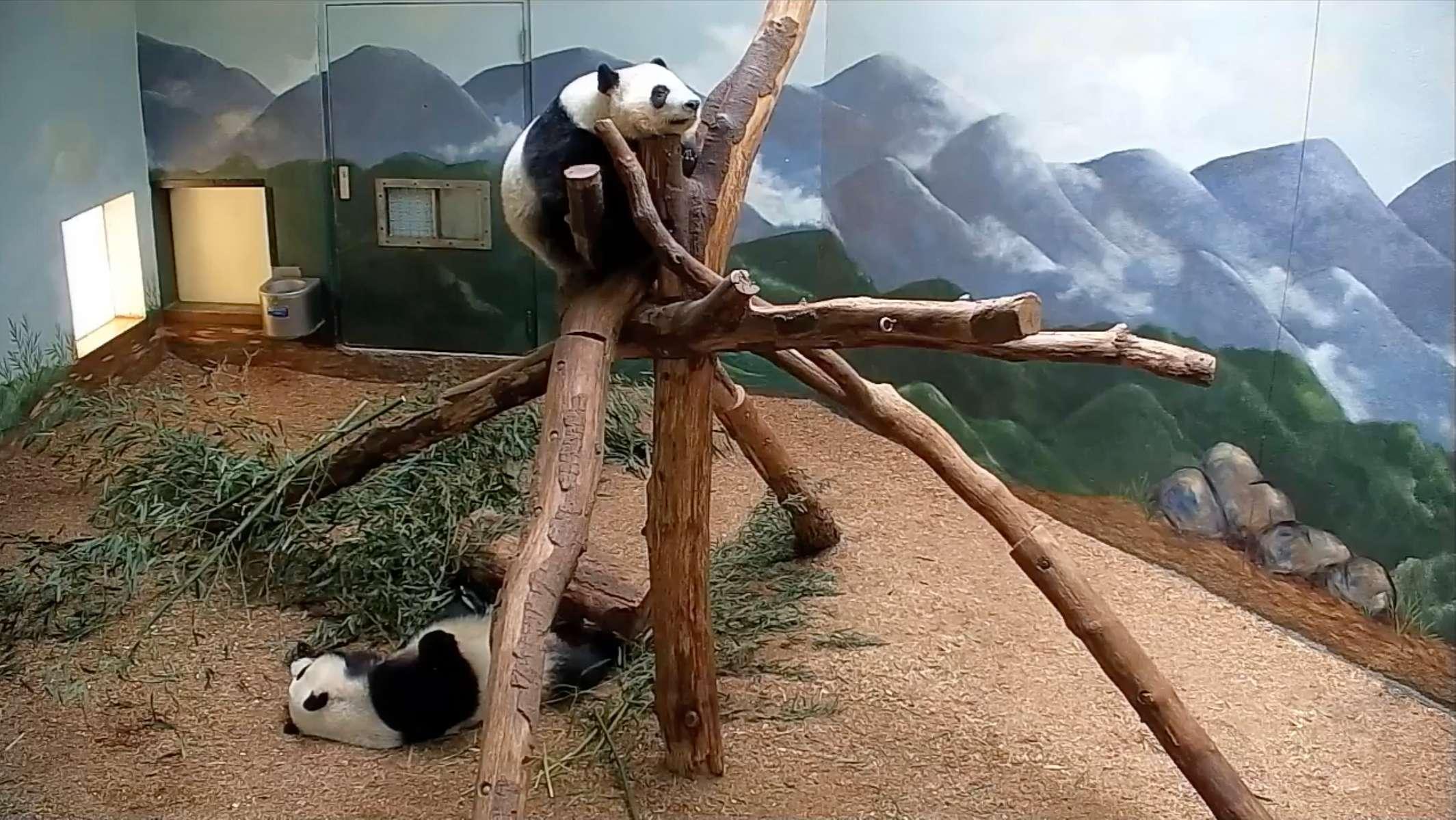 Pandas, Atlanta Zoo, Georgia. April 28, 2020, 7:08:26 AM PST