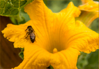 Bee-in-Flower-Carl-Kravats-Photography