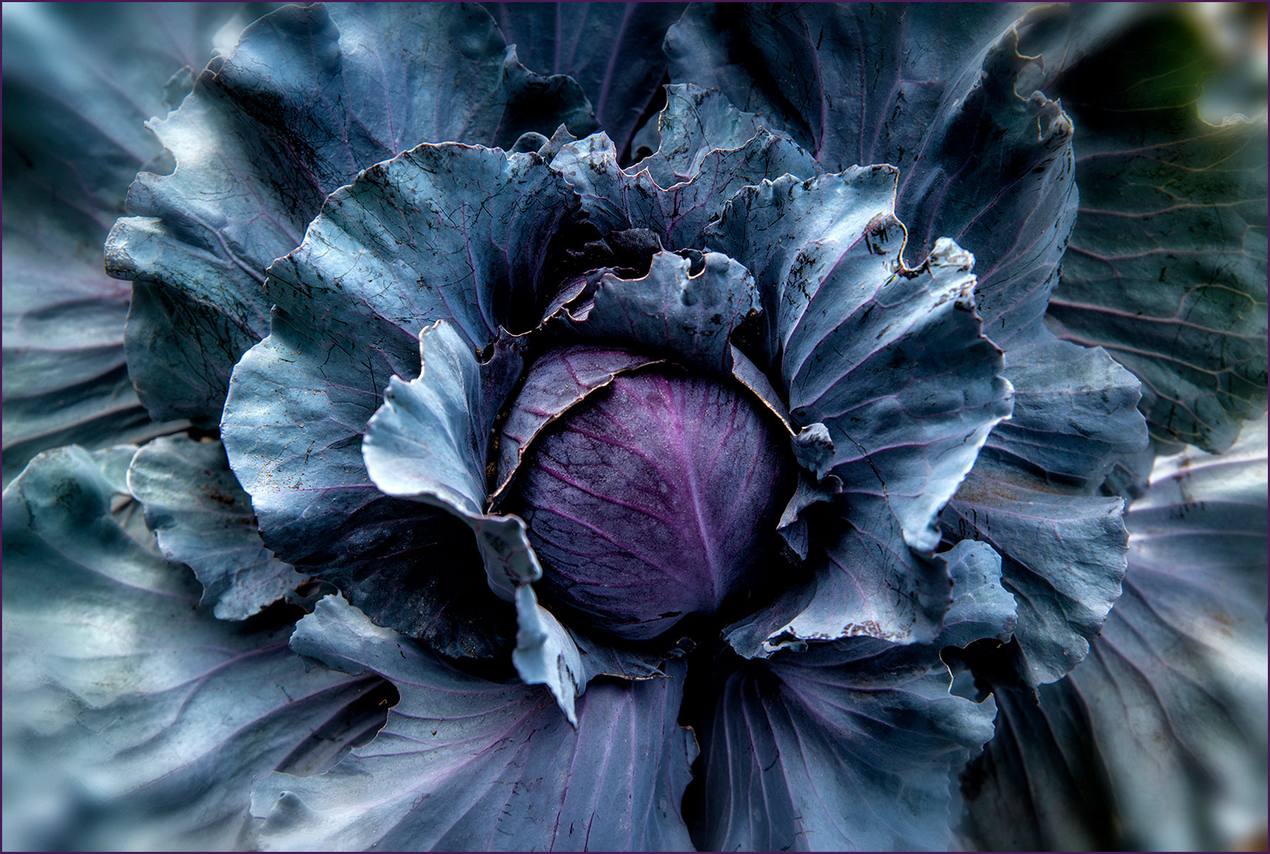 Cabbage-Carl-Kravats-Food-Photography