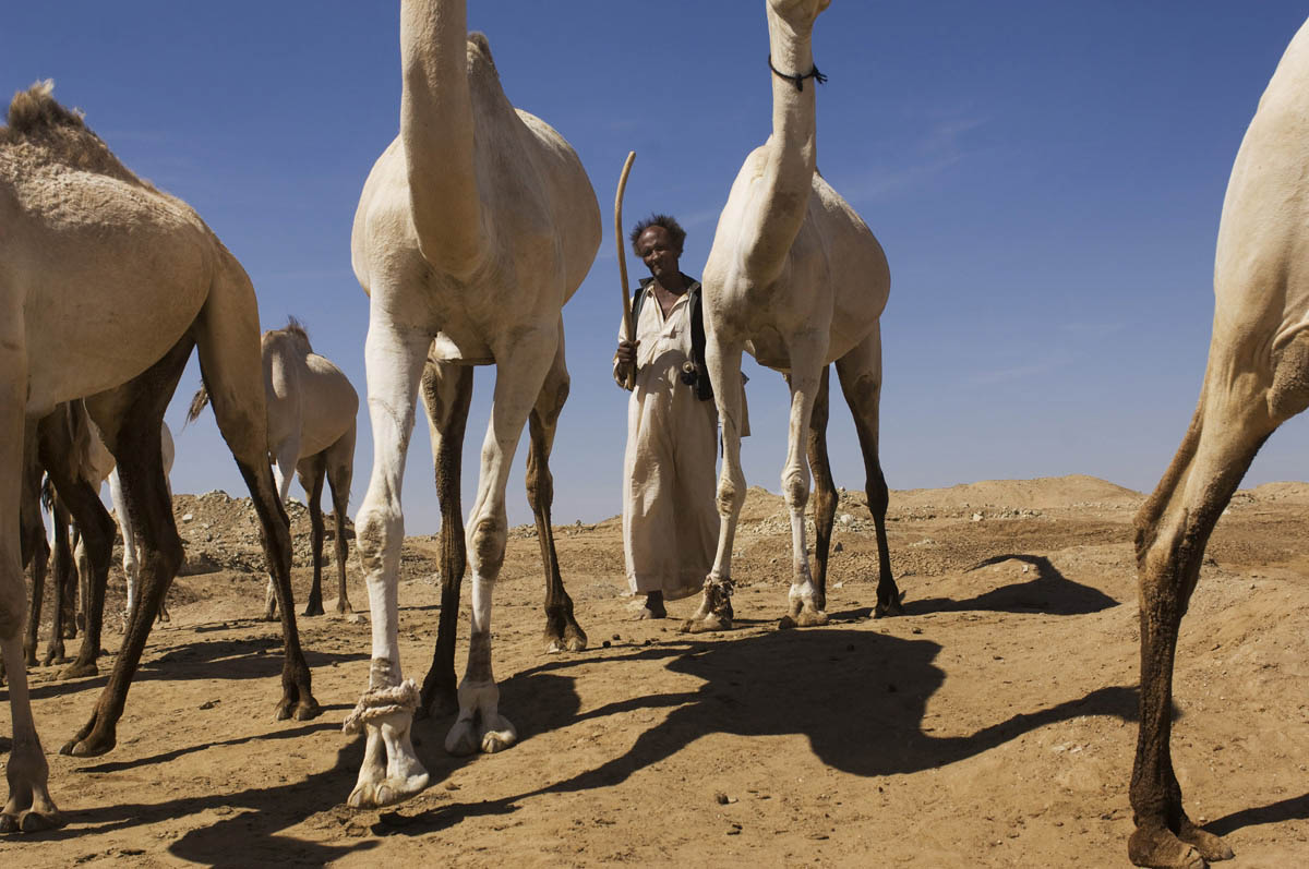 A Beja camel herder brings his animals to a watering hole on the road between Suakin and Kassala.Erheib, Red Sea State