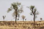 Rural landscape of Gedaref State.El Galabat locality, Gedaref State