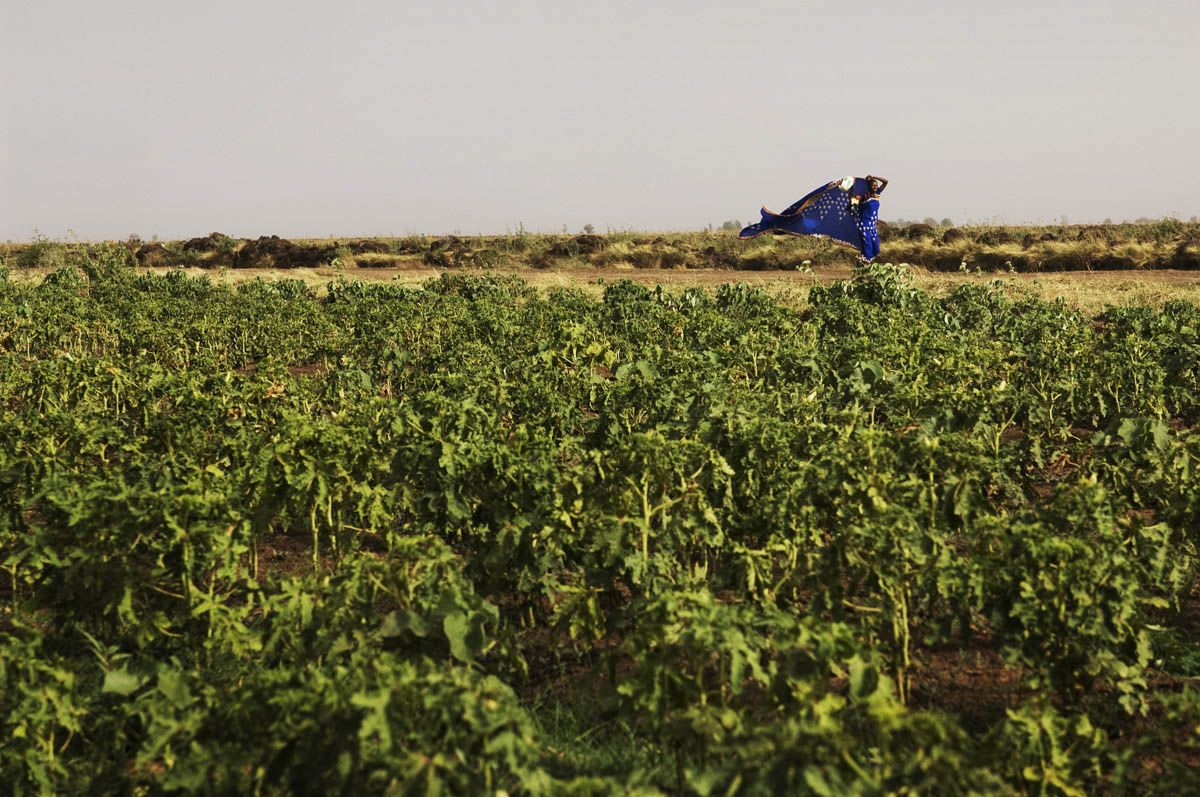 A seasonal worker walks through fields of chili in the Gezira Scheme.  The area between the Blue and White Niles south of Khartoum is one of the largest irrigation projects in the world and the most productive agricultural region in Sudan.  The scheme is fed by a series of canals from the Blue Nile.El Medina Arab, El Gezira State