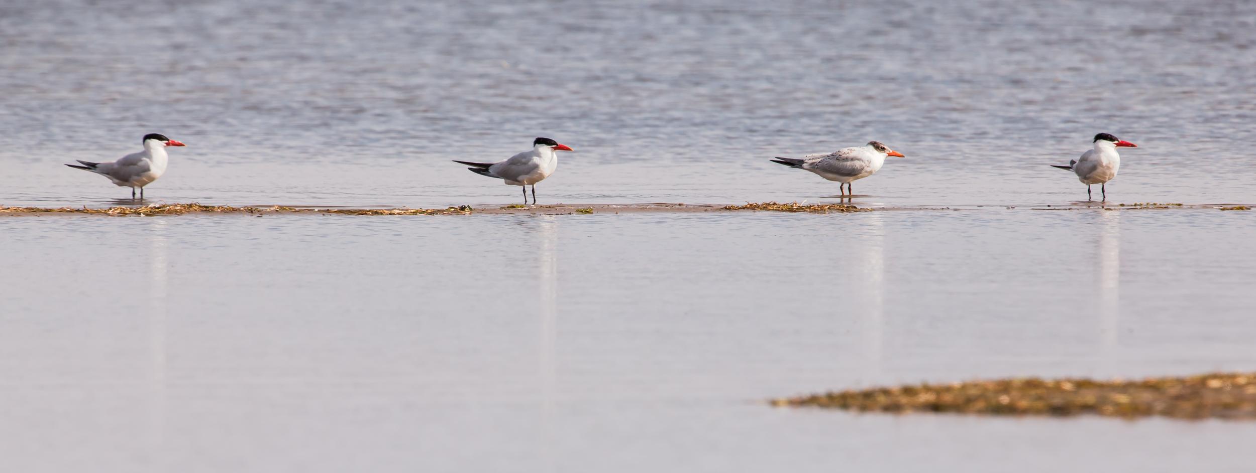 Caspien Gulls in Formation