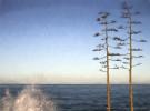 La_Jolla_trees-
