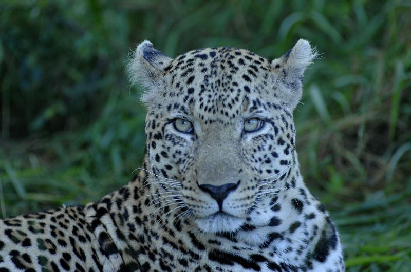 Leopard, Kruger SA