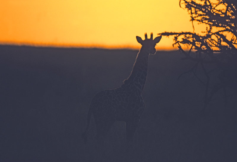 baby_giraffe_sunset-copy