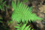 fern-copy