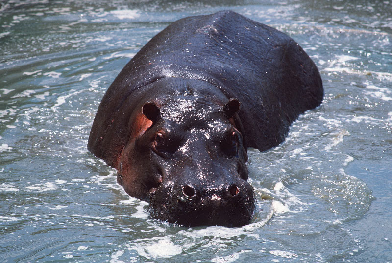 hippo-copy