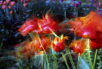 tulips-copy-1