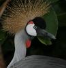 Grey (African) Crowned Crane