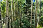 Aspen Trees  on Way to Crater Lake Near Aspen